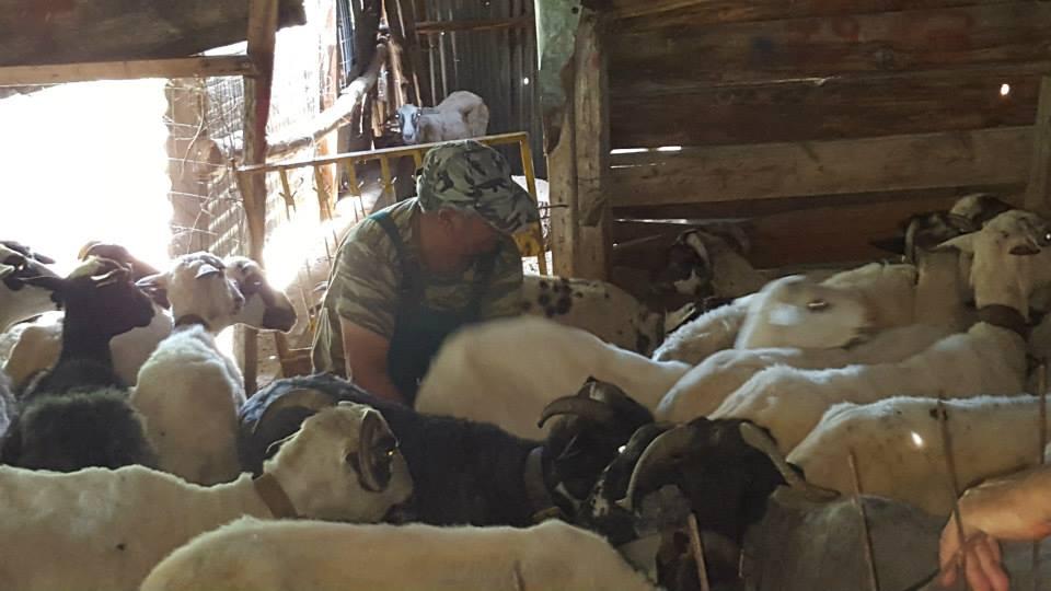 Nikos the Shepherd