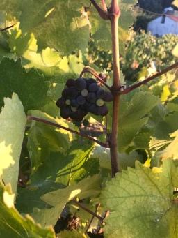 A Visit to an Ikarian Vineyard